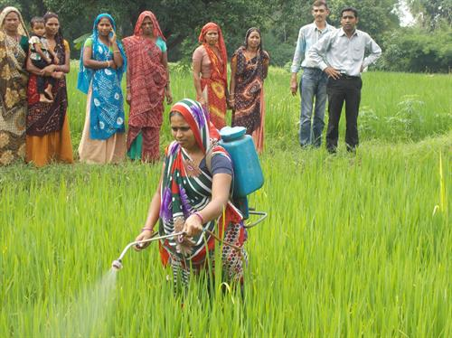Women Farmer demonstrate Bio Inputs in Paddy field