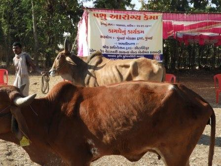 Cattle Health Camps at Khadakwada & Diyavat villages (CU), with support of Veterinary Doctors (AAU)