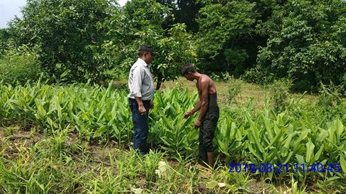 SFT team member visiting a ginger plot at Khadkhad Village, Chhotaudepur.